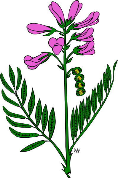 Plant, Flower, Hedysarum