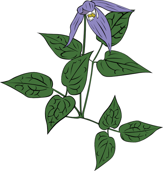 Flower, Clematis, Plant